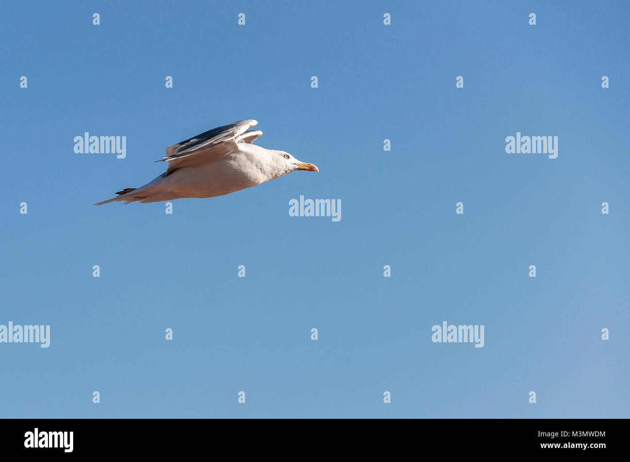 Single seagull flying against a blue sky Stock Photo