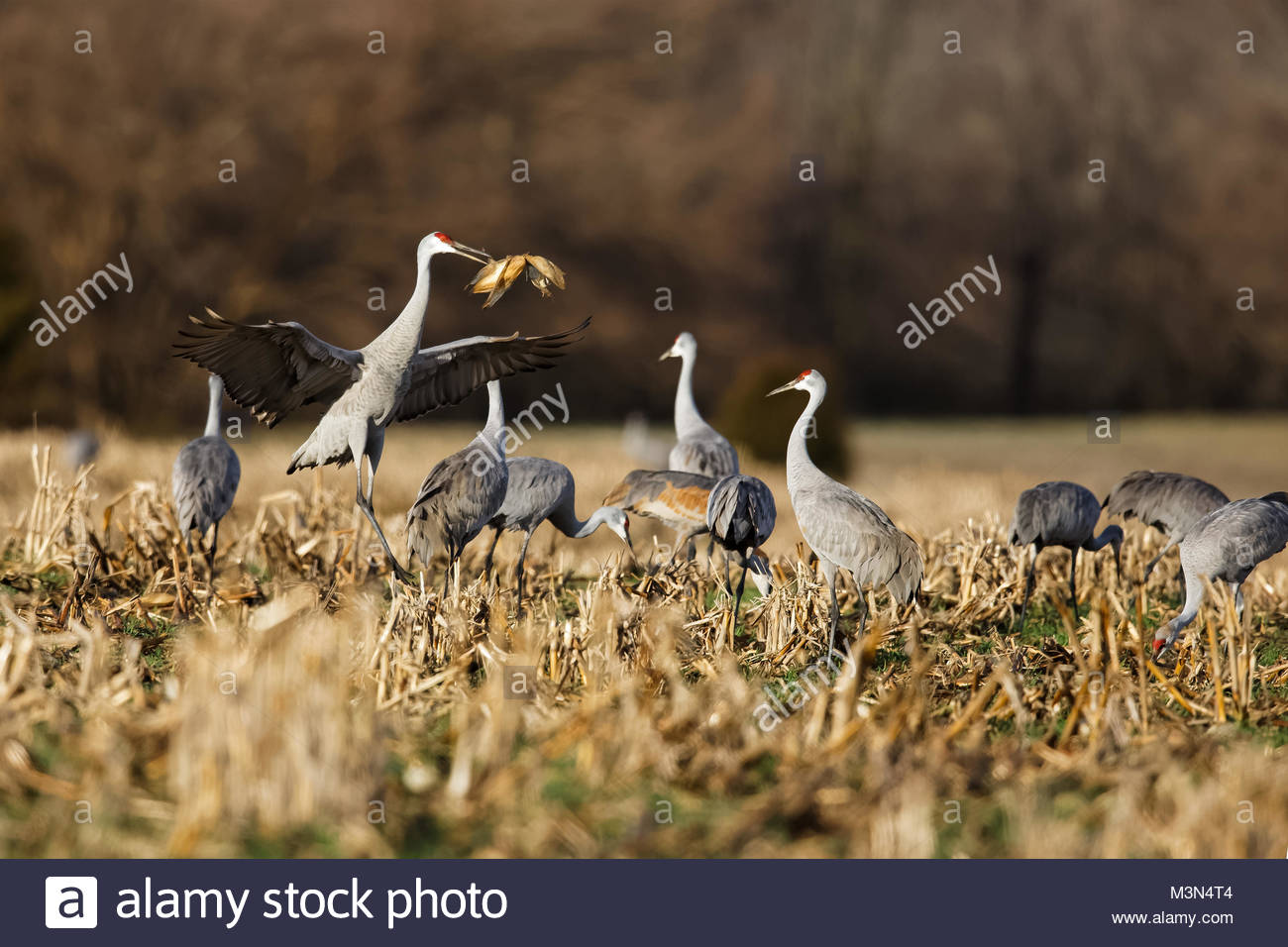 Sandhill Crane jumping and throwing corn shucks into air - Stock Image