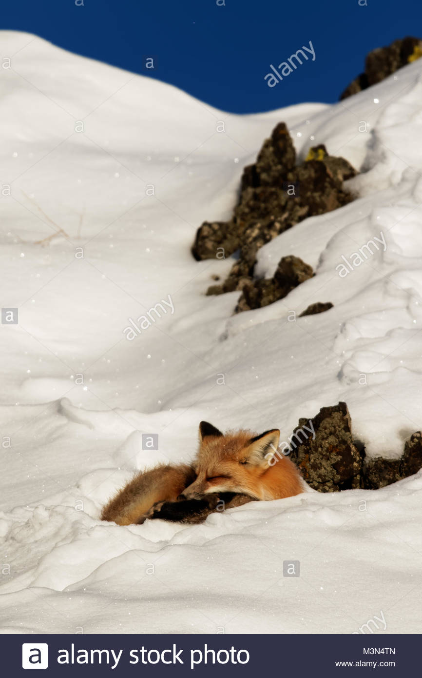 Red Fox (Vulpes vulpes) sleeping in the snow - Stock Image