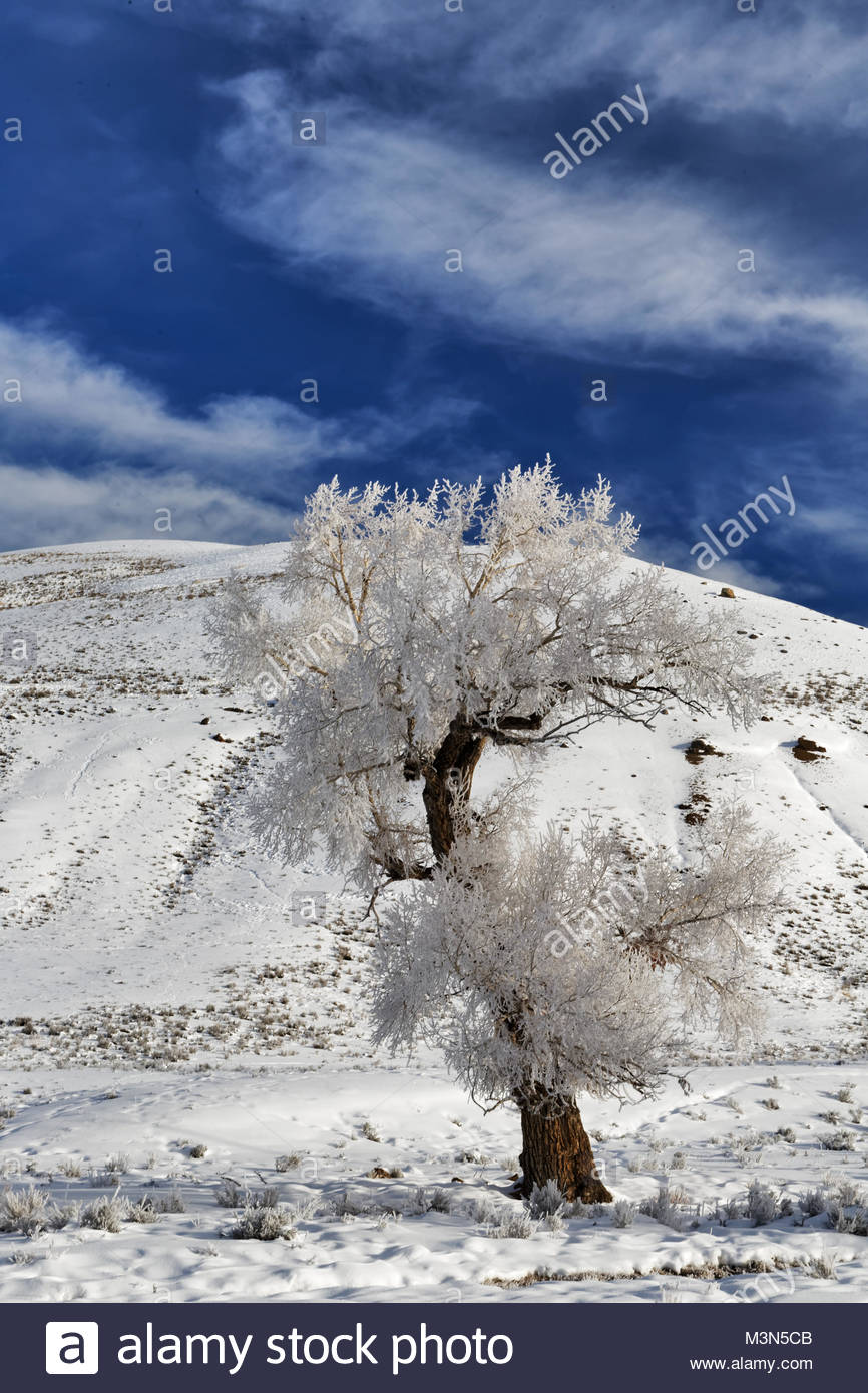 Cotton Wood Tree in Lamar Valley of Yellowstone covered in Hoar Frost - Stock Image