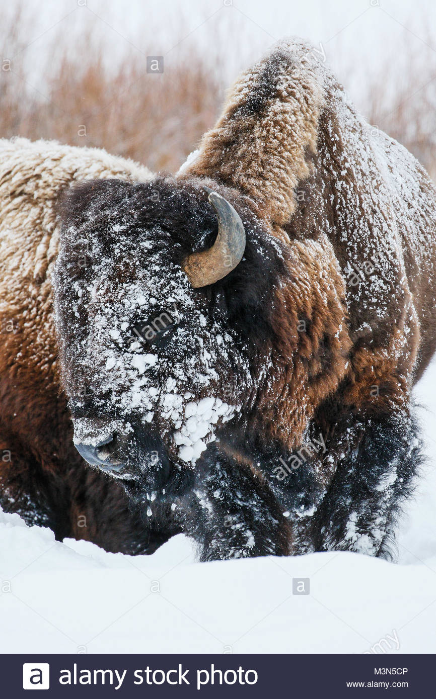 Bison or Buffalo (Bison bison) in winter - Stock Image
