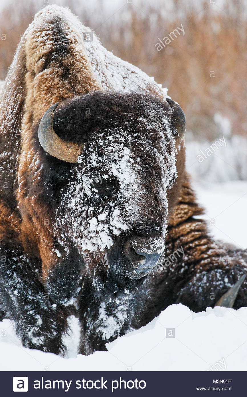 Bison or Buffalo (Bison bison) in winter with snow - Stock Image
