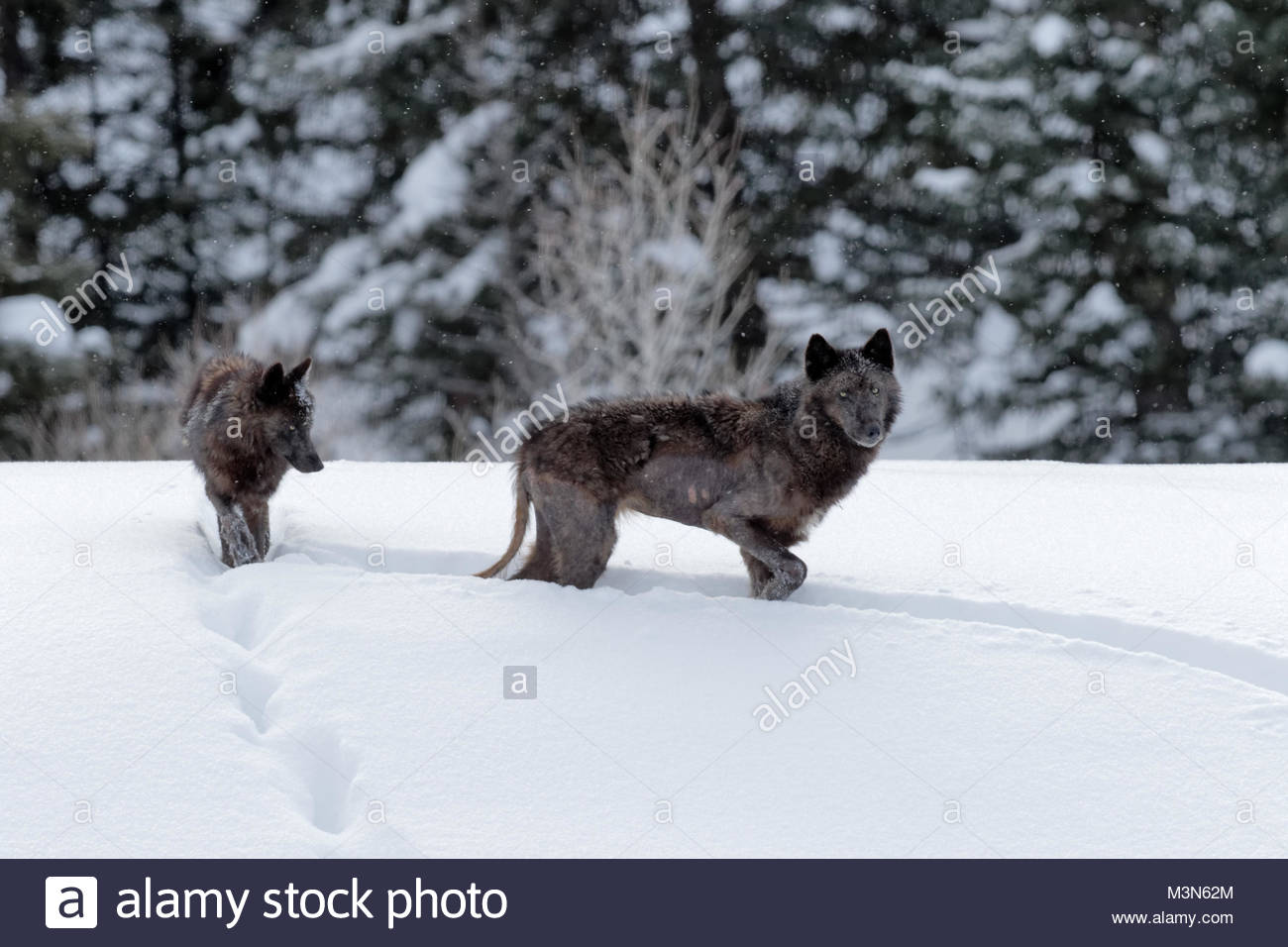 Two black wolves from the Lamar Valley Pack, with Mange. - Stock Image