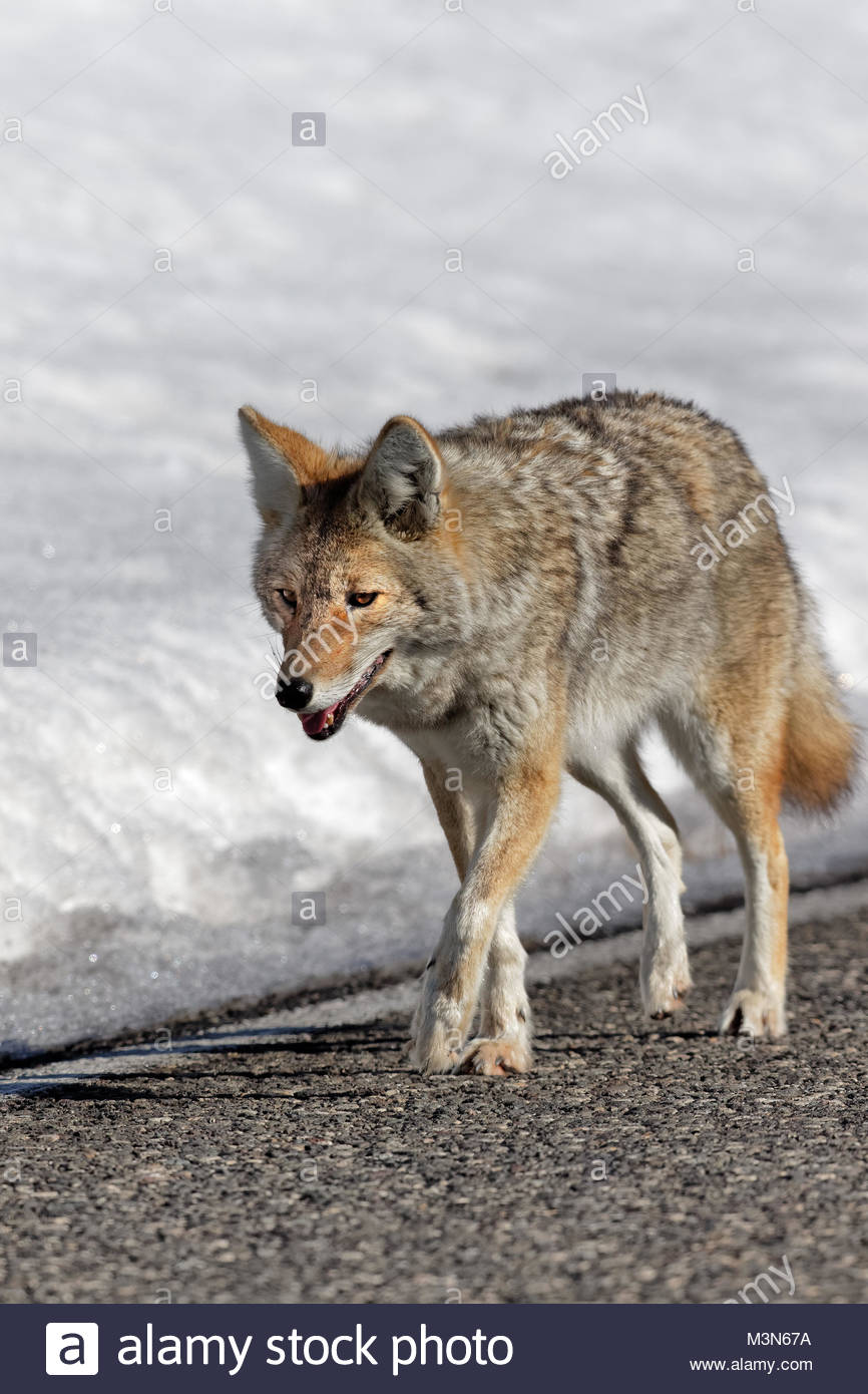 Coyote Walking along roadway. - Stock Image