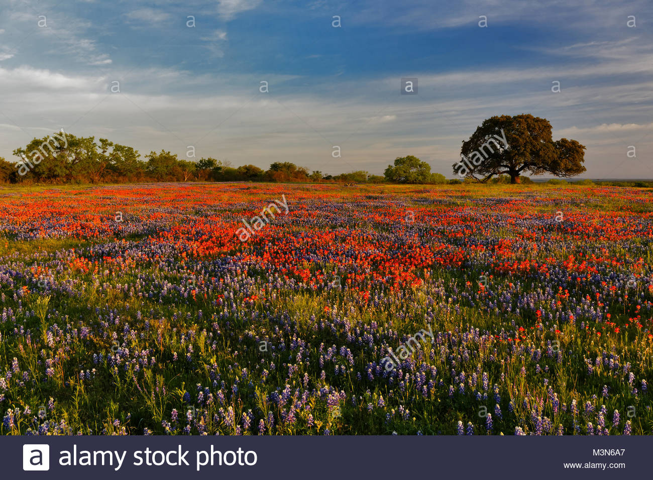 A field of Texas wildflowers at sunrise - Stock Image