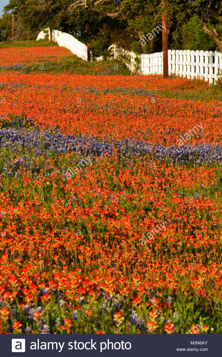 Texas wildflowers along county road 29, Llano Texas - Stock Image