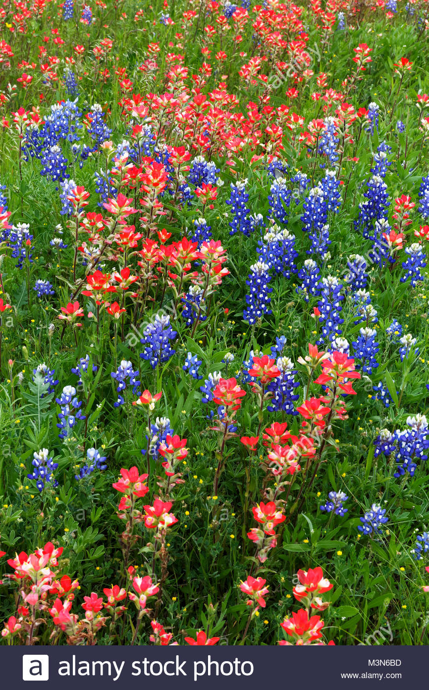 Bluebonnets and Indian Paintbrush, Texas Wildflowers - Stock Image