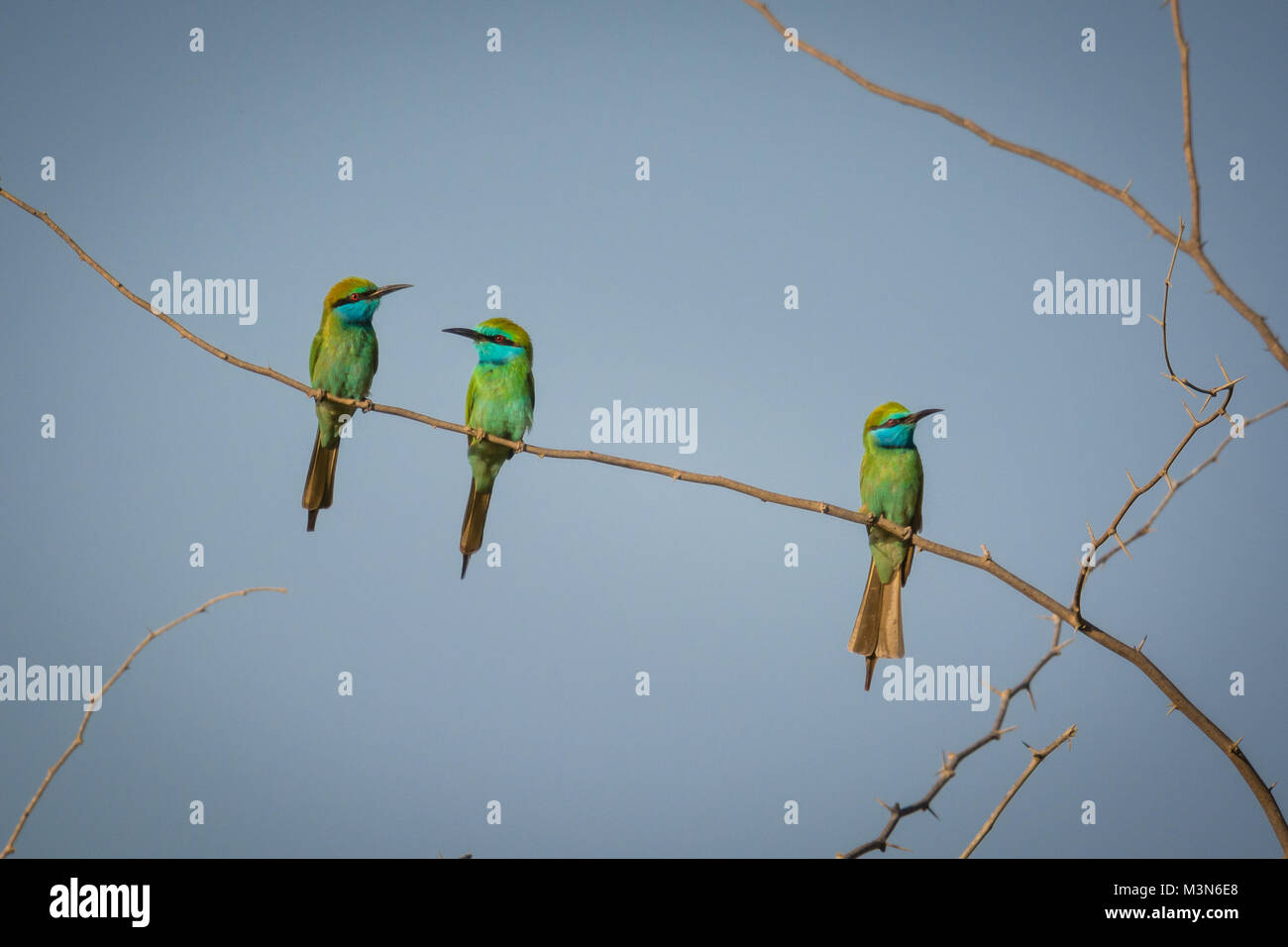 three bee eaters - Stock Image
