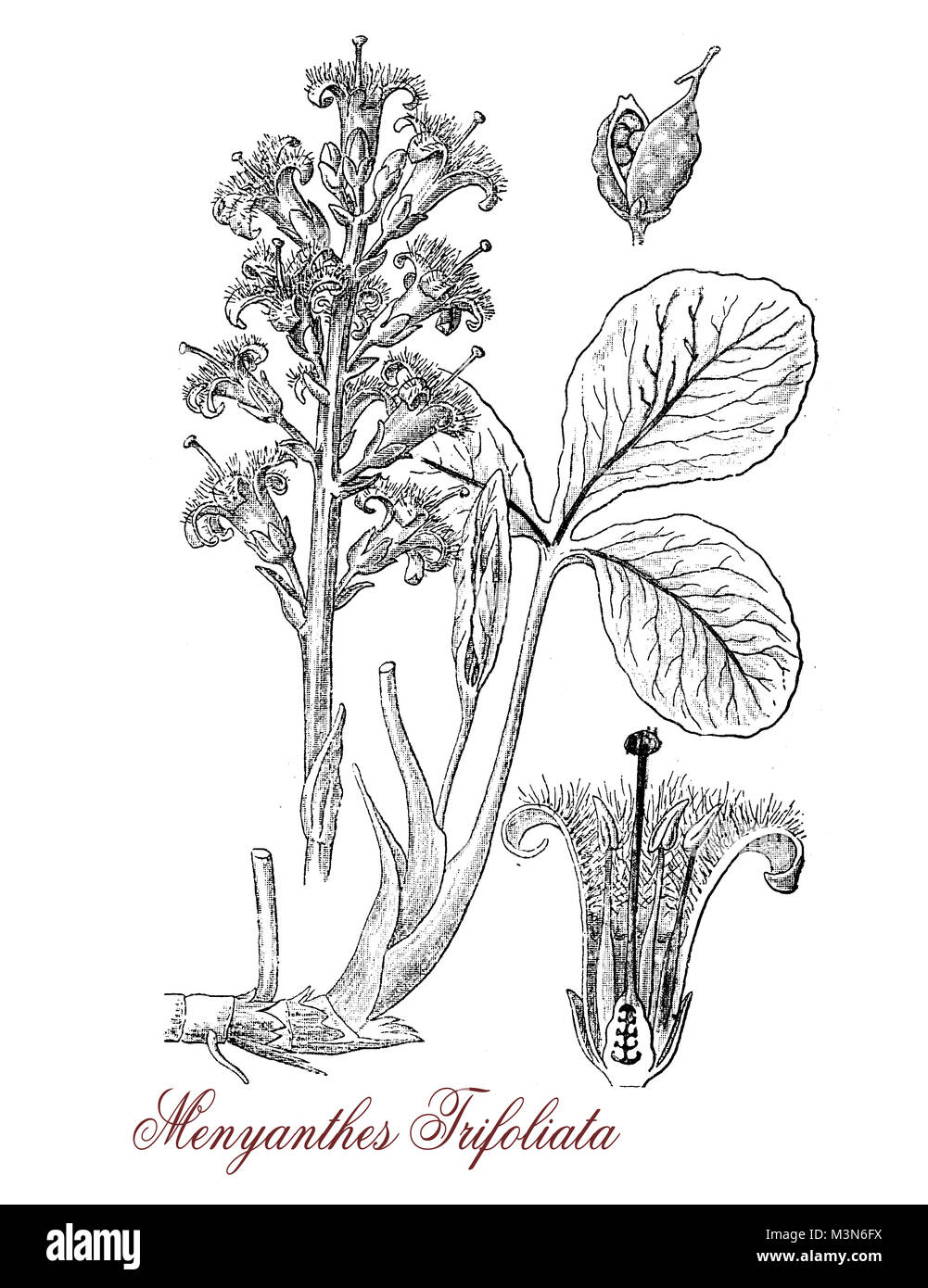 vintage engraving of menyanthes trifoliata, flowering plant used in herbal and alternative medicine, with white - Stock Image