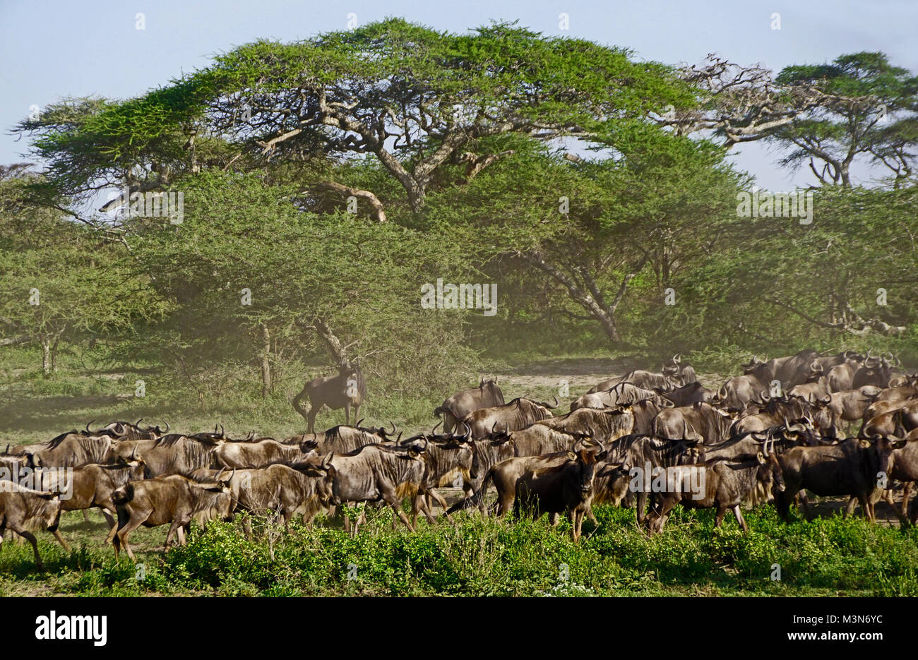Herd of wildebeest gathering for great migration under umbrella acacia trees on Serengeti Plains of Tanzania. Stock Photo