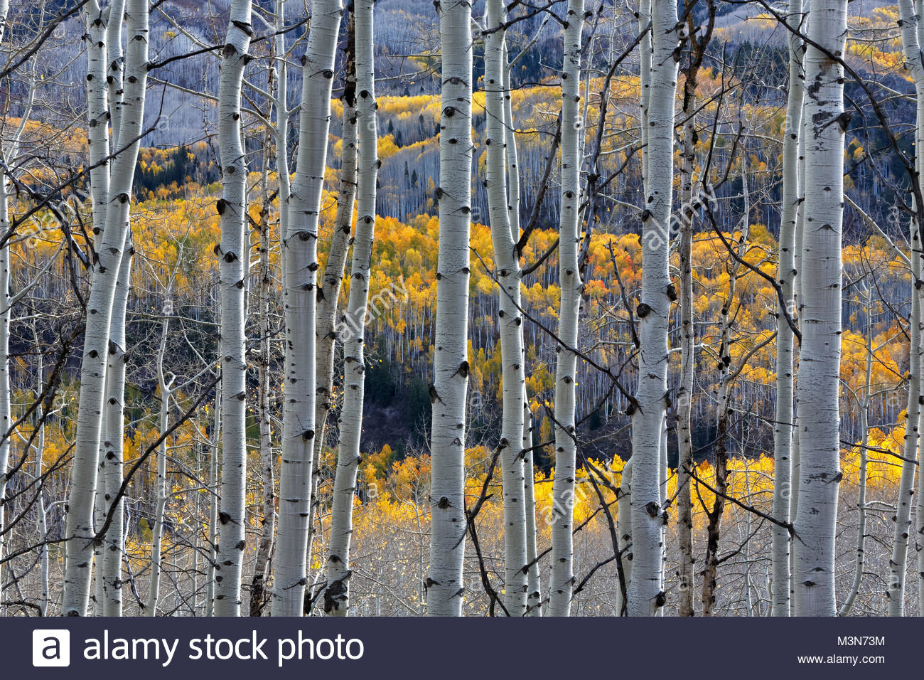 Aspen Trees, from Kebler Pass, Colorado - Stock Image