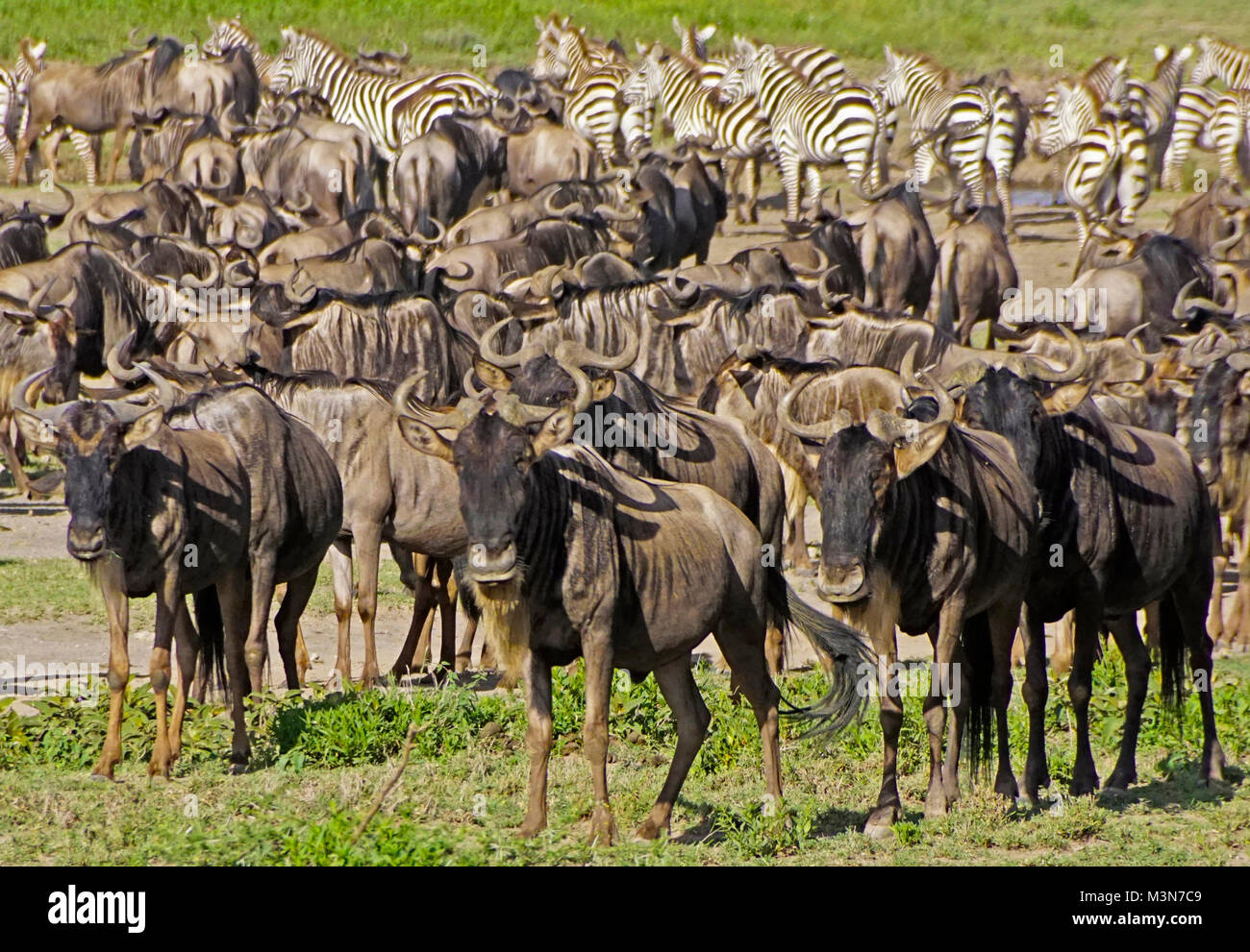 Herds of wildebeest and zebra waiting to begin Great Migration on Serengeti Plains of Tanzania. - Stock Image