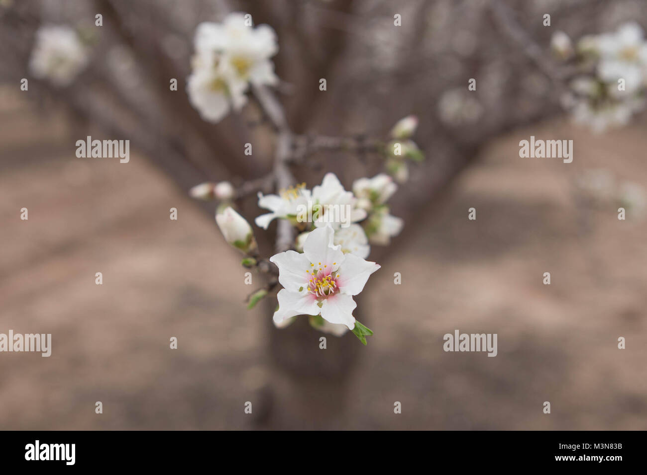 Almond Flower close up dof early spring blossom background natural light photography blooming - Stock Image