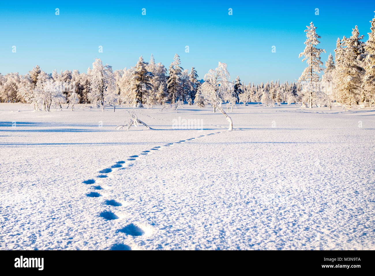 Snow-laden forests of northern Finland - Stock Image