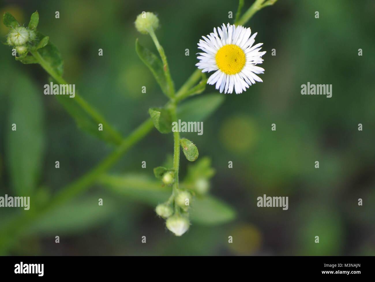 Daisy like flower face stock photos daisy like flower face stock small daisy flower looks like a sad frowning face stock image izmirmasajfo