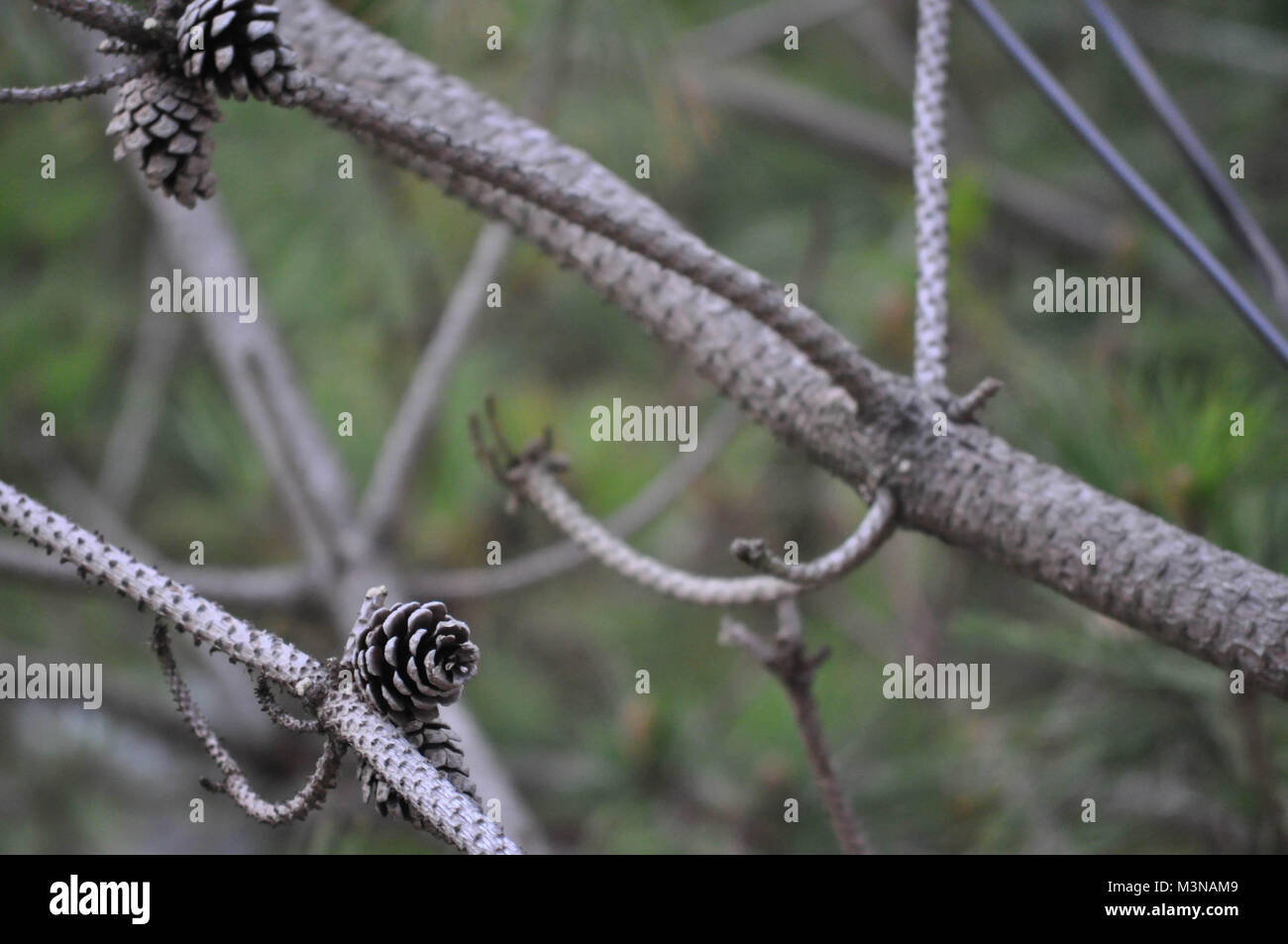 Pinecones in a Pine Tree - Stock Image