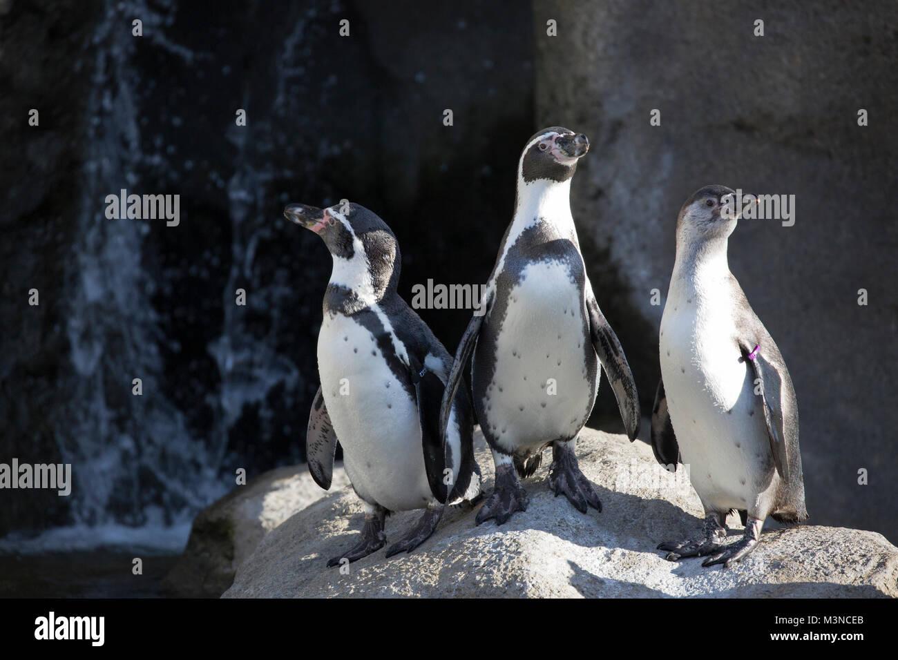 Humboldt Penguins (Spheniscus humboldti) in zoo habitat - Stock Image
