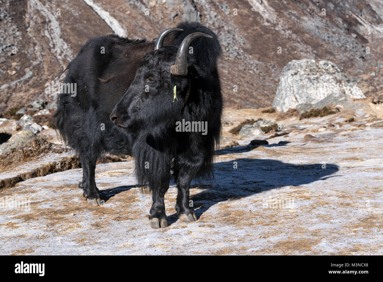 Yak animal in the Nepalese mountains, Nepal - Stock Image
