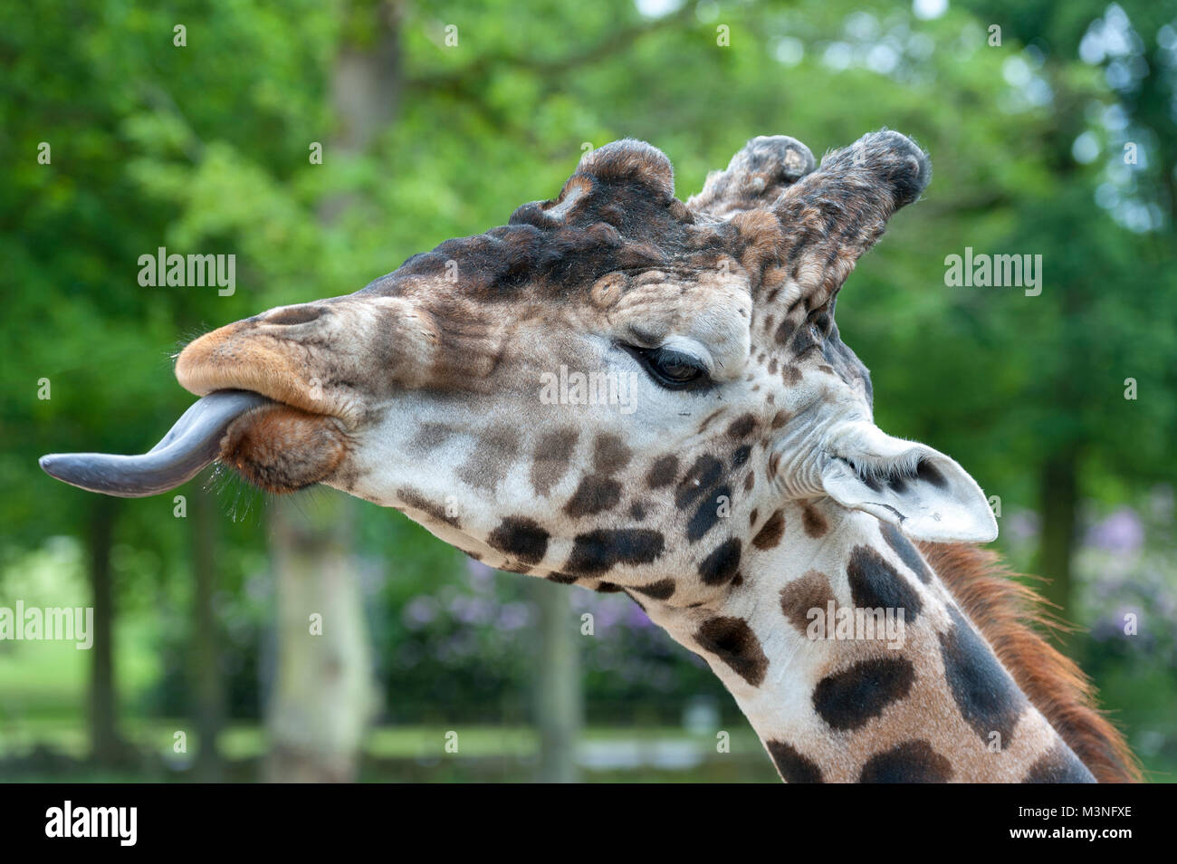 Close up of a giraffe  the tallest living terrestrial animal out stretches its tounge to feed - Stock Image
