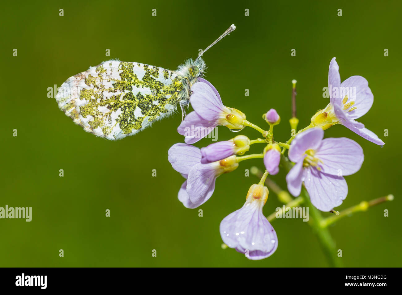 Closeup of a Male Orange tip (anthocharis cardamines) resting and feeding nectar from cuckooflower (Cardamine pratensis) - Stock Image