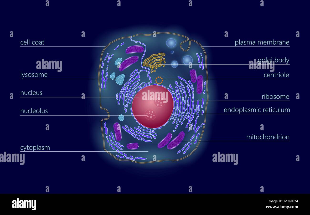 Animal human cell structure educational science. Microscope 3d eukaryotic nucleus organelle medicine technology - Stock Image