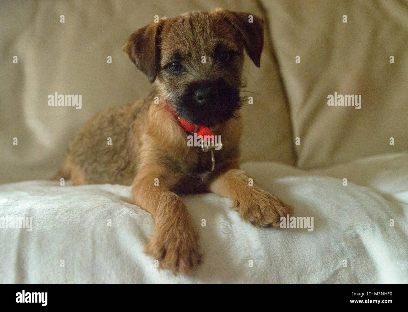 Border Terrier puppy our new faily pet - Stock Image