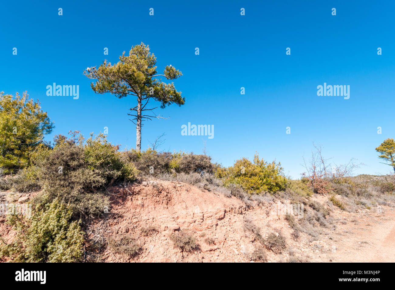 Aleppo pine, Pinus halepensis,  on a blue blackground, Catalonia, Spain - Stock Image