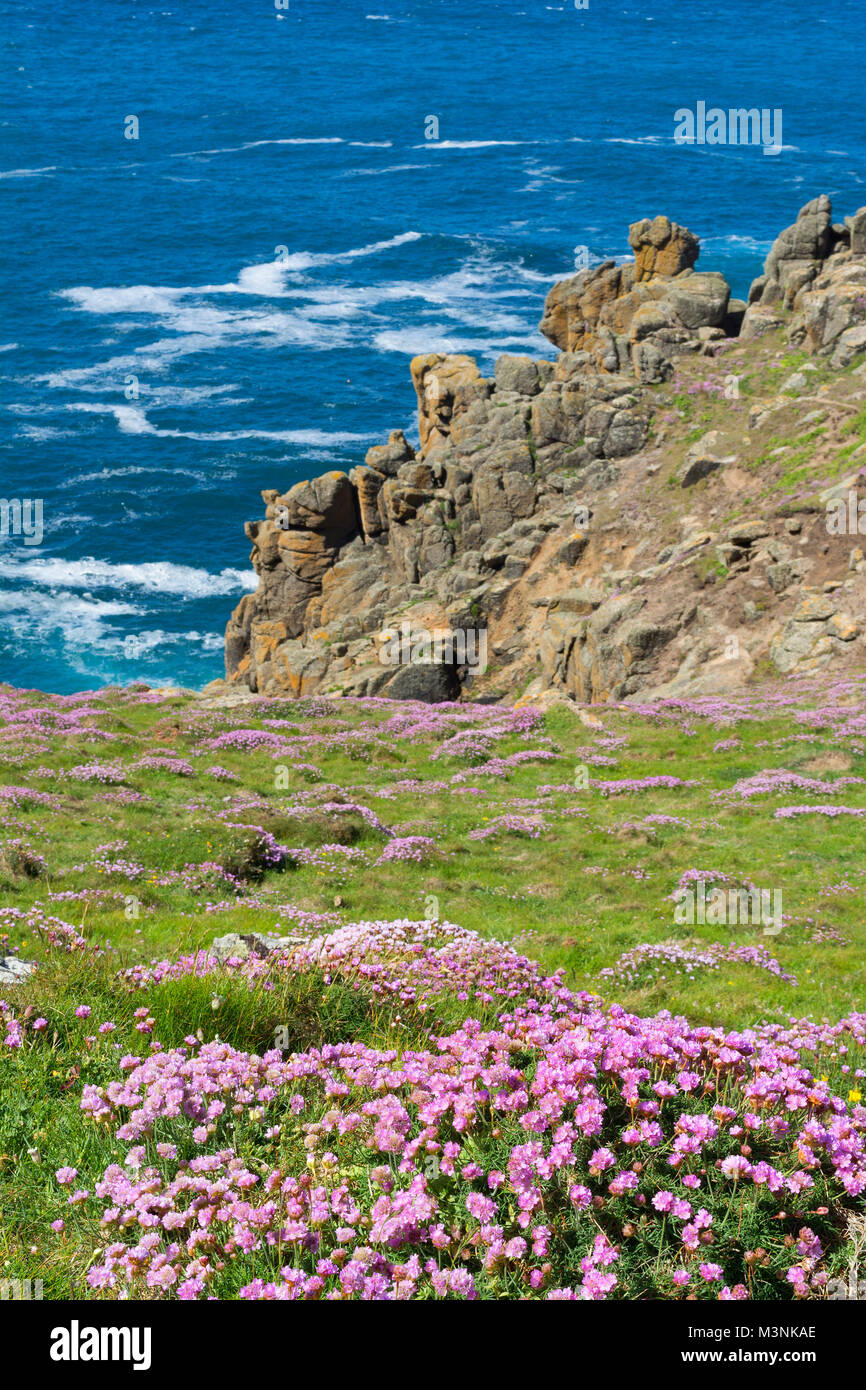 sea pinks, thrift flowers growing at gwennap head on the penwith peninsular in cornwall, england, britain, uk. - Stock Image