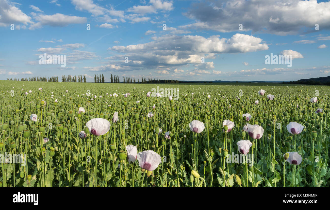 Field with opium poppy blooms and heads. Papaver somniferum. Beautiful view of the green poppies in landscape under Stock Photo