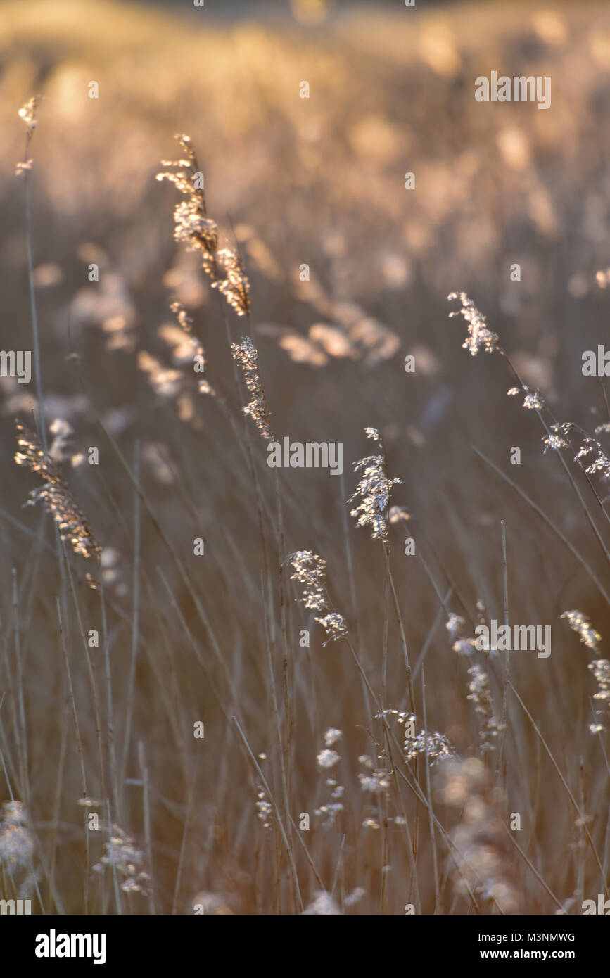 Barley wheat or reeds at the side of a tidal river. Crops growing and swaying in the wind with sunlight glimmering - Stock Image