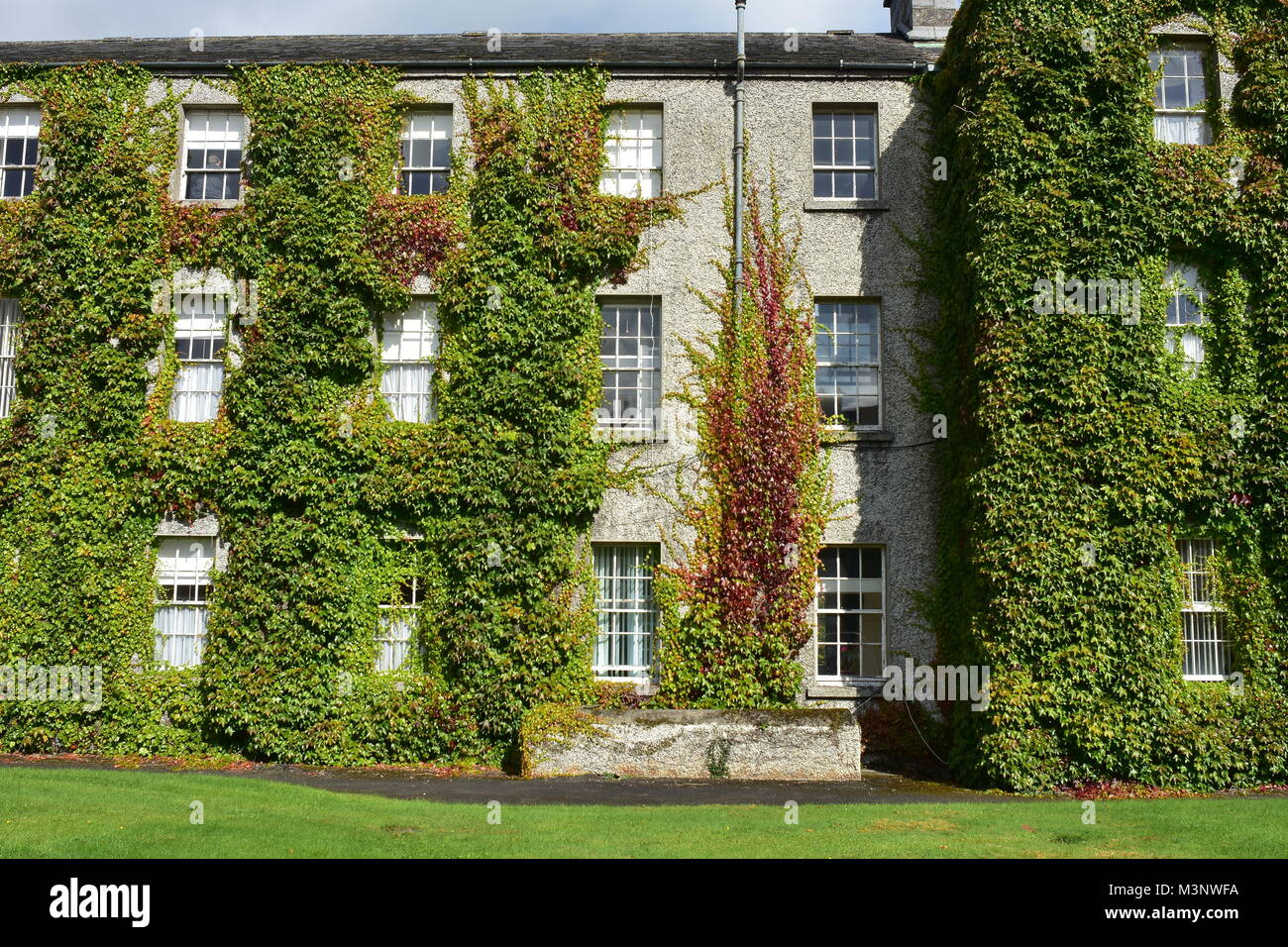 Multi-story dormitory building of Maynooth University covered with dense vines. - Stock Image