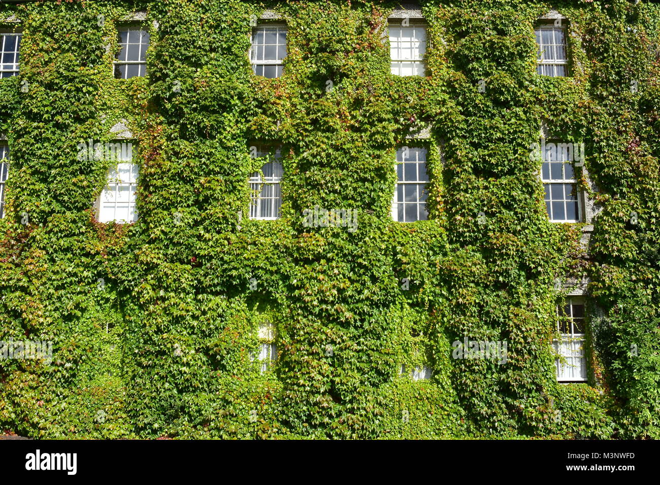 Exterior wall of historical multi-story building covered with dense green vines. - Stock Image