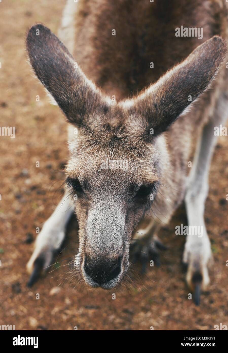 The nosy Kangaroos in Philip Island Wild Life Park. A lovely and happy bunch! - Stock Image