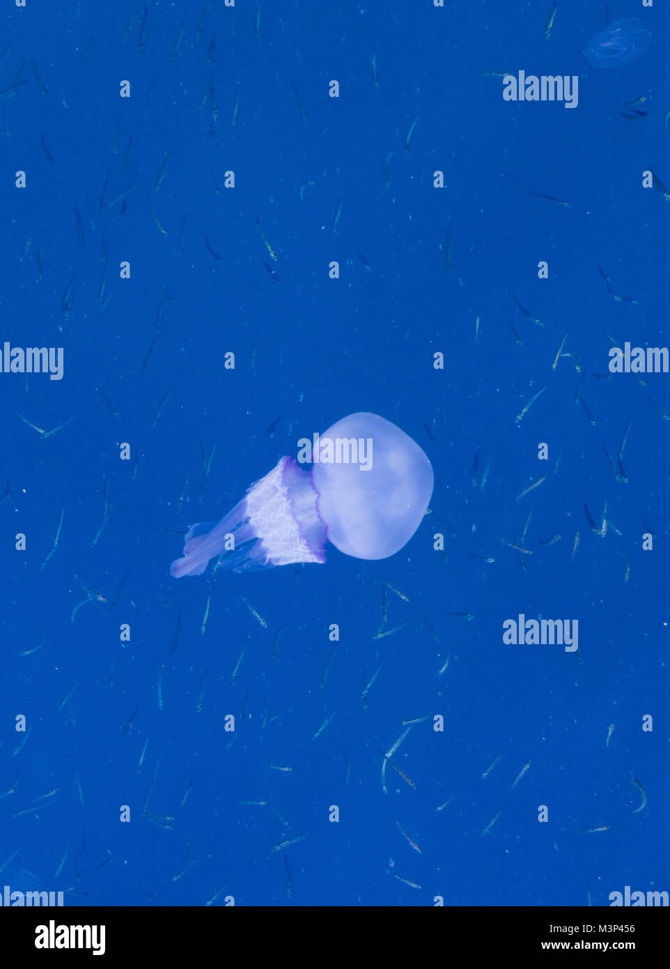 Beautiful glowing blue jellyfish in blue water sea with little fish background - Stock Image