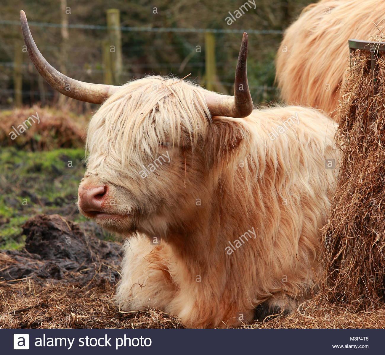 Highland Cattle February 2018 - Stock Image