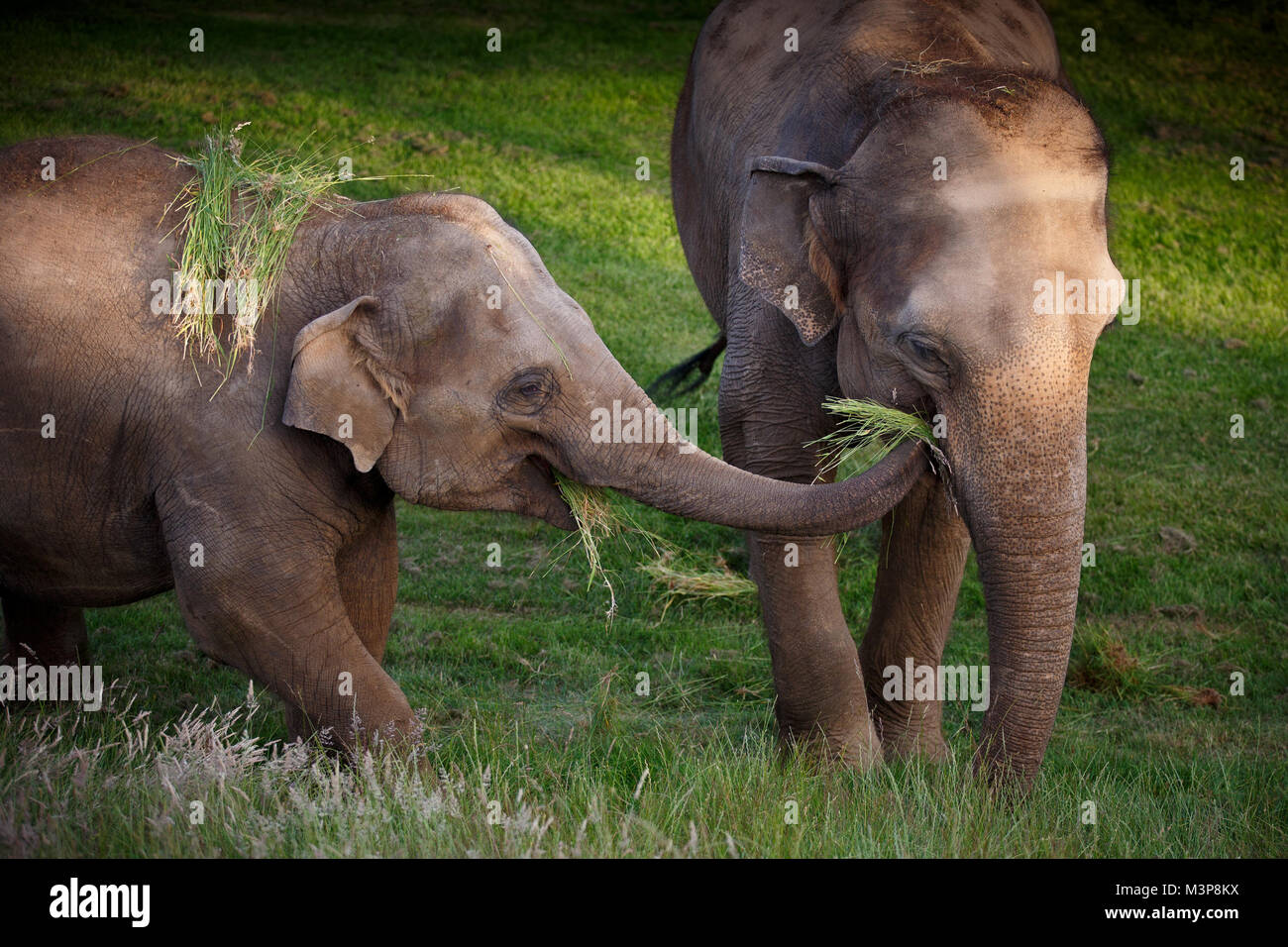 Asian Elephant at ZSL Whipsnade Zoo - Stock Image