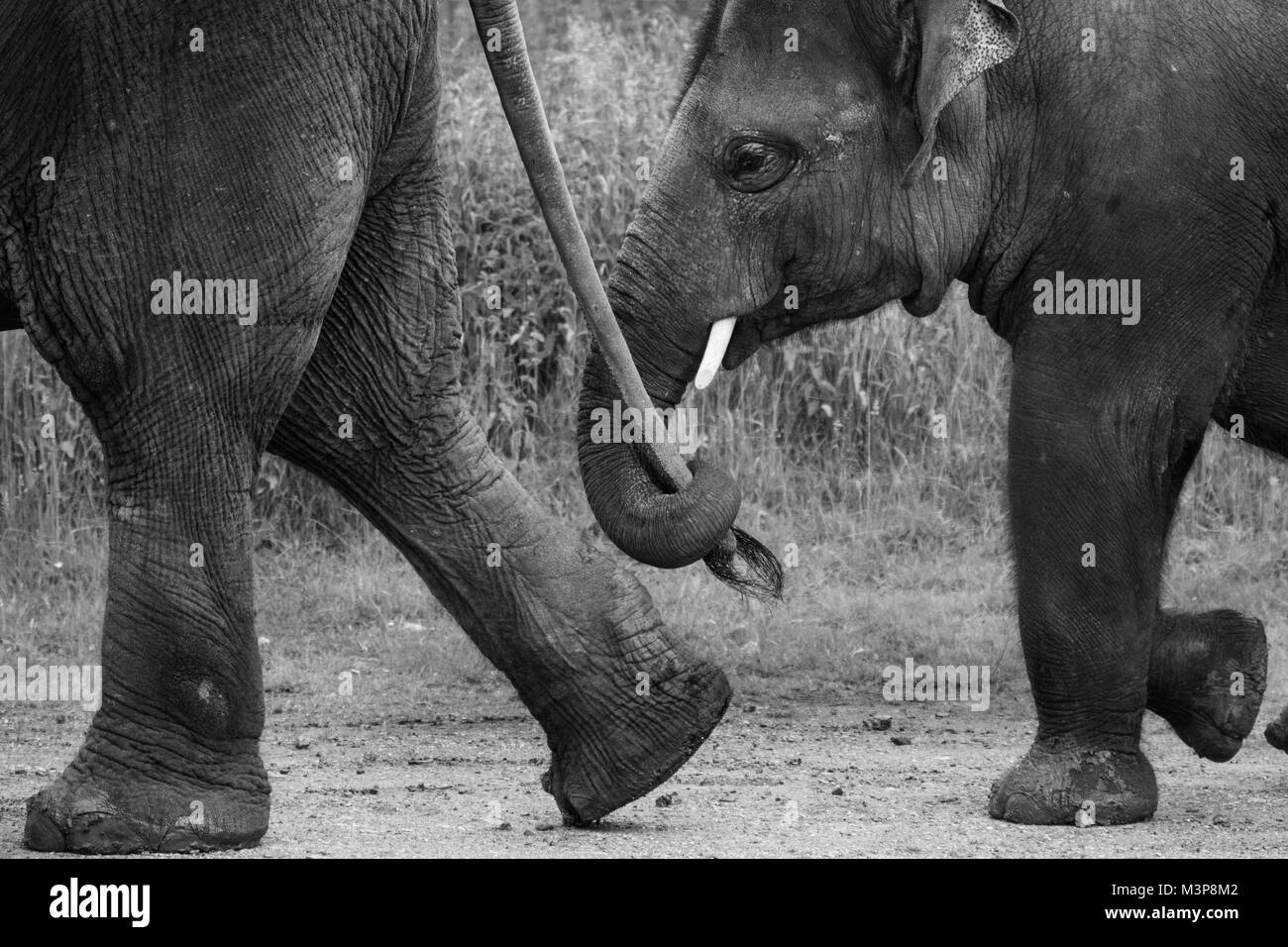 Asian Elephants walking in line, one elephants trunk holding another's tail at ZSL Whipsnade Zoo - Stock Image