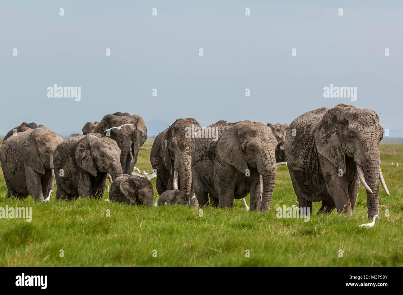 A herd of elephants moving through grassland on the plains of Amboseli NP, Kenya. - Stock Image