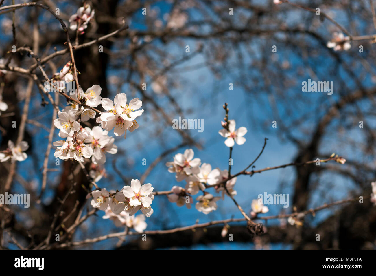 almond tree blooming stock photos almond tree blooming stock