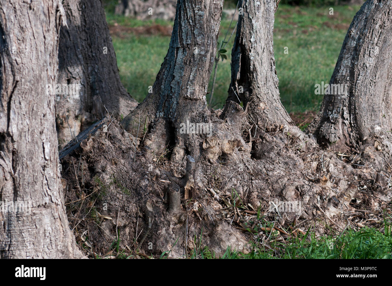 olive tree roots - Stock Image