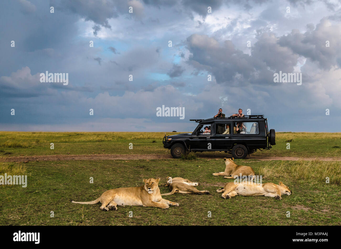 A game drive vehicle with safari guests watching lions under a cloudy sky in the Maasai Mara, Kenya. - Stock Image