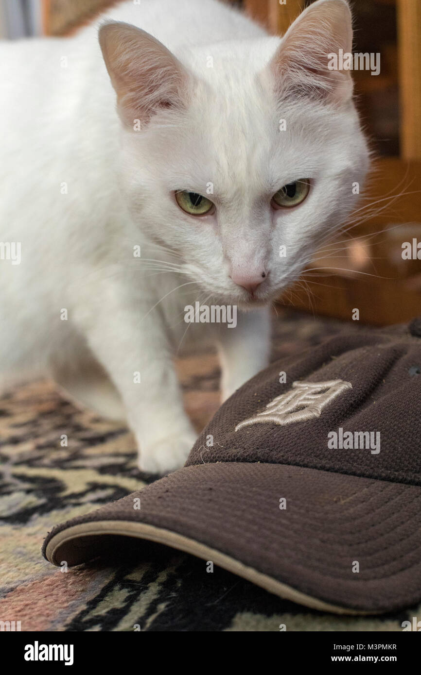 Detroit, Michigan USA - 19 February 2018 - Rosalita the cat poses with a Detroit Tigers cap as spring training for Stock Photo