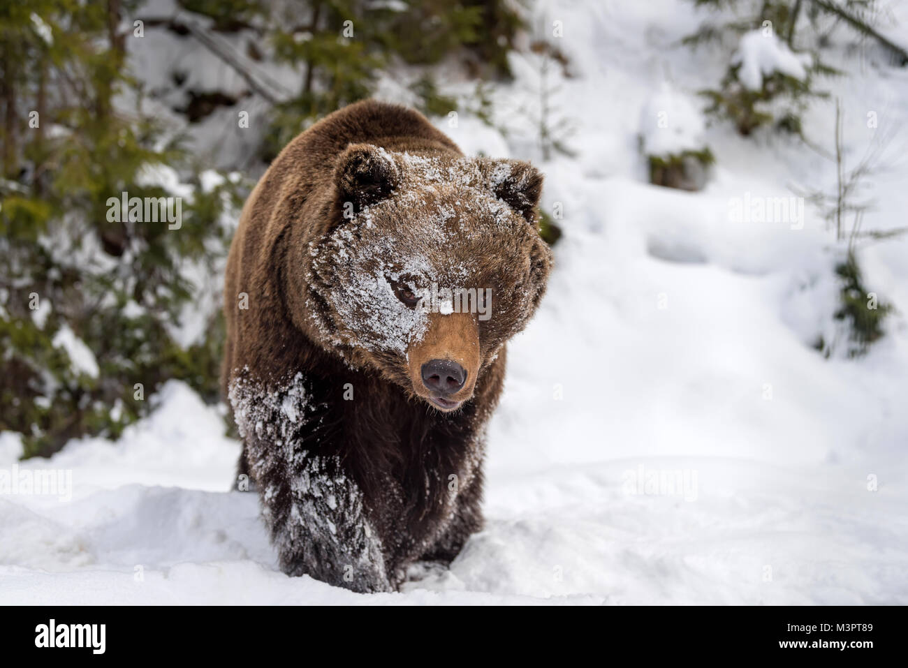 Close wild big brown bear in winter forest - Stock Image