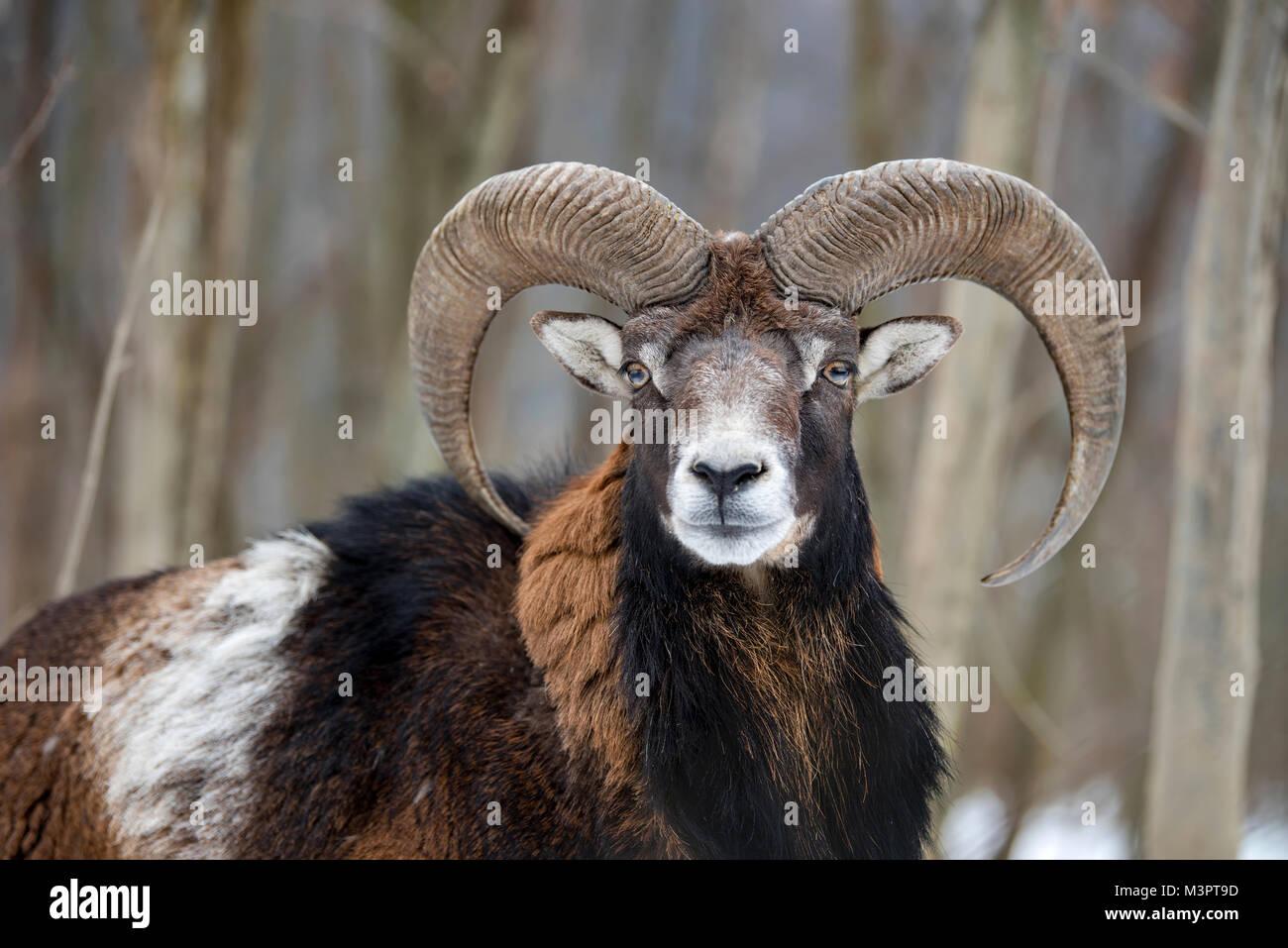 Winter portrait of big mouflon animal. Mouflon, Ovis orientalis, forest horned animal in nature habitat - Stock Image