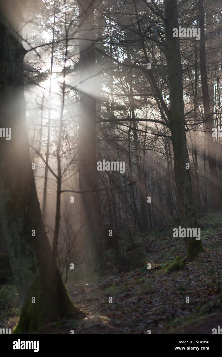 A ray of sun breaking through the trees in the forest - Stock Image