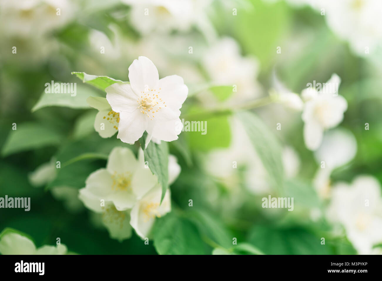 Close Up Jasmine Flowers In Garden Selective Focus Stock Photo