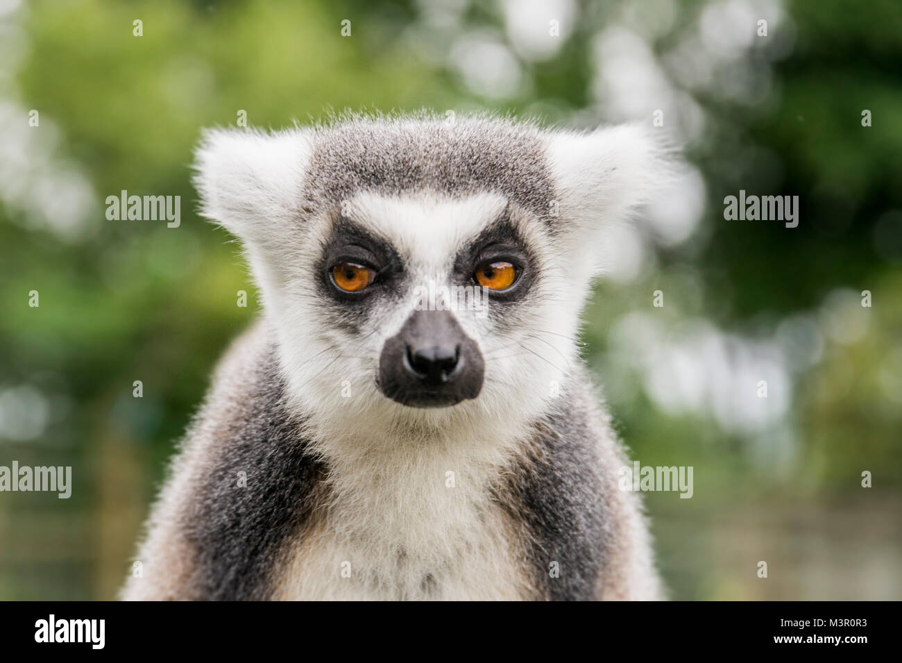 Ring tailed Lemur looking shifty! - Stock Image