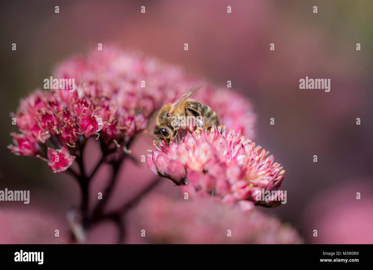 Honey bee on pink flower soft focus - Stock Image