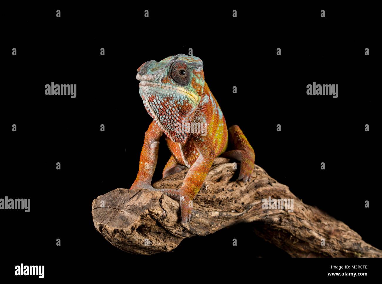 Studio background Chameleon on a branch - Stock Image