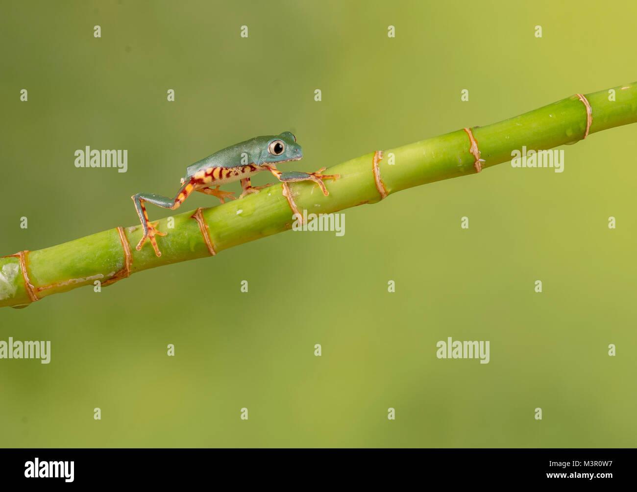 Little frog walking up bamboo Stock Photo